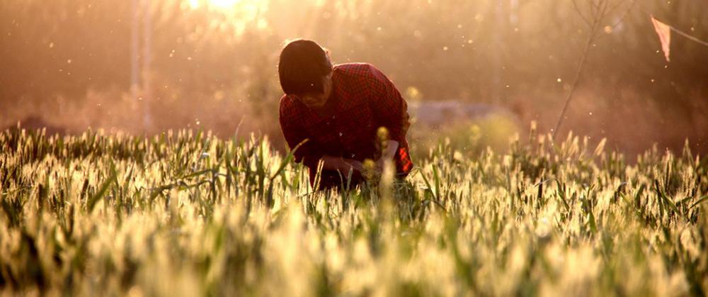 多地麦区已进入扬花灌浆期
