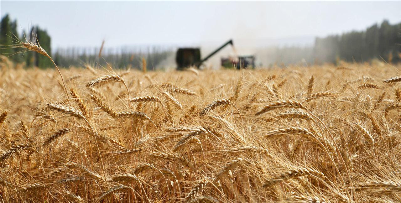 新疆兵团:夏粮喜获丰收