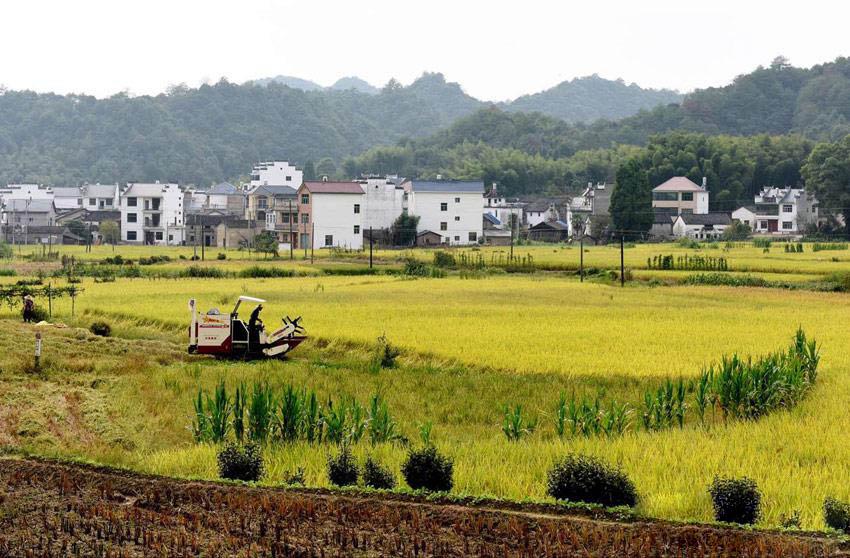 江西婺源:山村秋收忙 农机唱欢歌