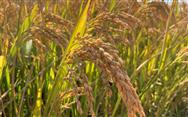 广西创建全国水稻生产全程机械化示范县,对相关农机加大补贴力度
