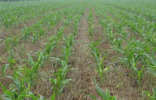 东北玉米结构调整的指导意见